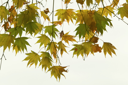 Japanese Maple「Japanese maple leaves, Japan, view from below」:スマホ壁紙(18)