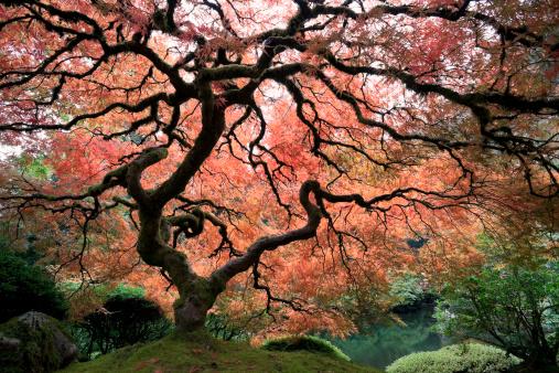 Japanese Maple「Japanese Maple Tree with Autumn Leaves」:スマホ壁紙(1)