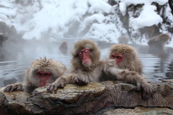 日本「Japanese Macaques Bathe In Hot Springs」:写真・画像(12)[壁紙.com]