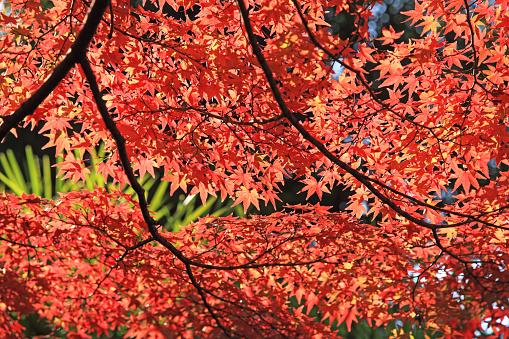 Japan「Japanese maple in autumn at Kiyomizu Temple, Kyoto, Japan」:スマホ壁紙(15)
