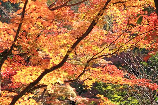 Japan「Japanese maple in autumn at Kiyomizu Temple, Kyoto, Japan」:スマホ壁紙(16)