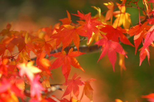 Japanese Maple「Japanese maple tree in autumn, Yamanashi Prefecture, Honshu, Japan」:スマホ壁紙(17)