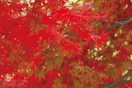 Japanese Maple「Japanese maple tree in autumn, Tokyo Prefecture, Honshu, Japan」:スマホ壁紙(13)
