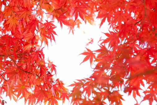 Japanese Maple「Japanese maple tree in autumn」:スマホ壁紙(1)