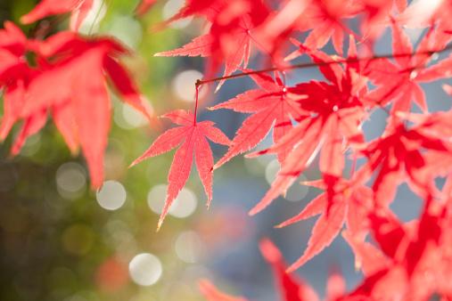 Japanese Maple「Japanese maple tree in autumn」:スマホ壁紙(4)