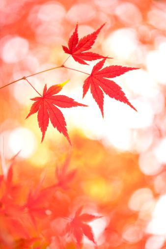 Japanese Maple「Japanese maple tree in autumn」:スマホ壁紙(9)