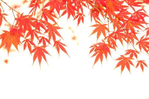 Japanese Maple「Japanese maple tree in autumn」:スマホ壁紙(17)