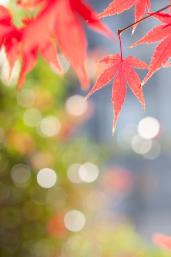 Japanese Maple「Japanese maple tree in autumn」:スマホ壁紙(5)