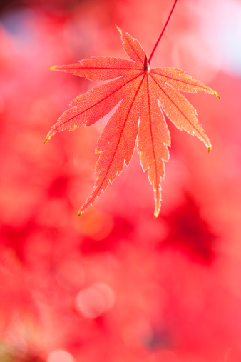 Japanese Maple「Japanese maple tree in autumn」:スマホ壁紙(7)
