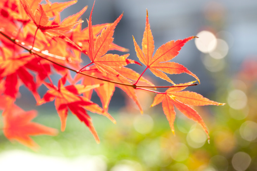 Japanese Maple「Japanese maple tree in autumn」:スマホ壁紙(3)