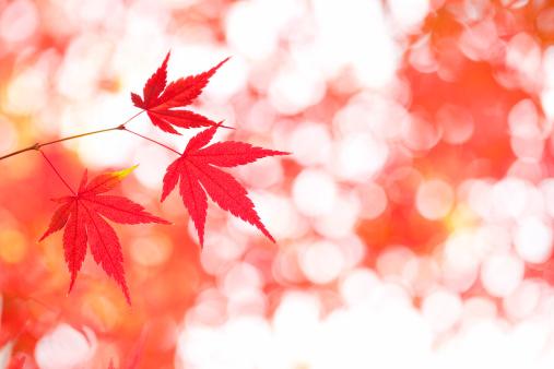 Japanese Maple「Japanese maple tree in autumn」:スマホ壁紙(11)