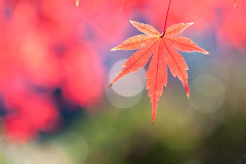 Japanese Maple「Japanese maple tree in autumn」:スマホ壁紙(6)