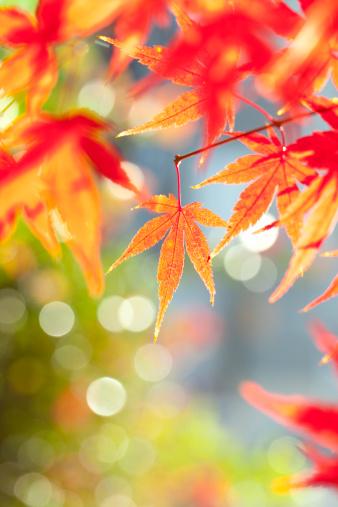 Japanese Maple「Japanese maple tree in autumn」:スマホ壁紙(2)
