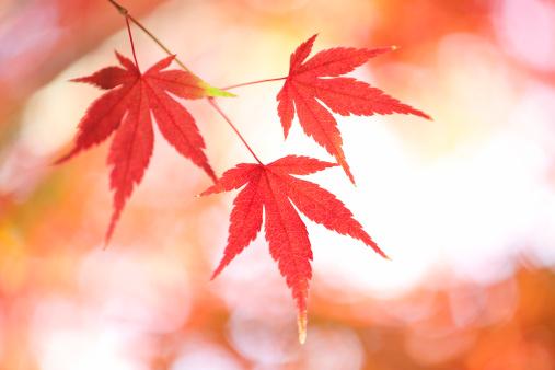Japanese Maple「Japanese maple tree in autumn」:スマホ壁紙(10)