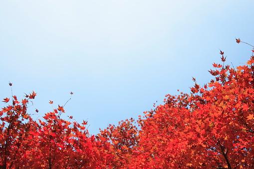 Japanese Maple「Japanese maple tree in autumn」:スマホ壁紙(0)