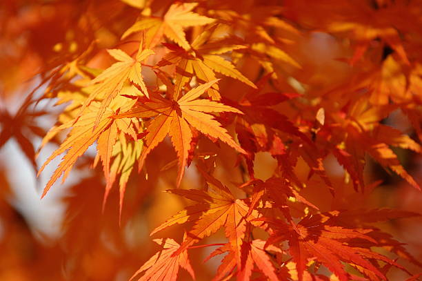 Japanese maple tree in autumn:スマホ壁紙(壁紙.com)