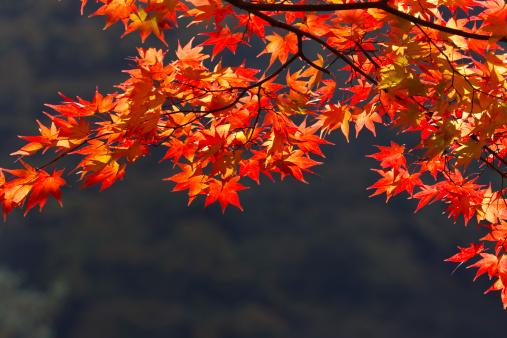 Japanese Maple「Japanese maple tree in Autumn, Saitama Prefecture, Honshu, Japan」:スマホ壁紙(9)