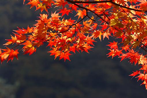 Japanese Maple「Japanese maple tree in Autumn, Saitama Prefecture, Honshu, Japan」:スマホ壁紙(17)