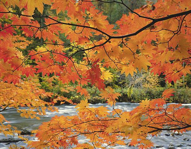 Japanese maple tree in autumn, Aomori Prefecture, Honshu, Japan:スマホ壁紙(壁紙.com)