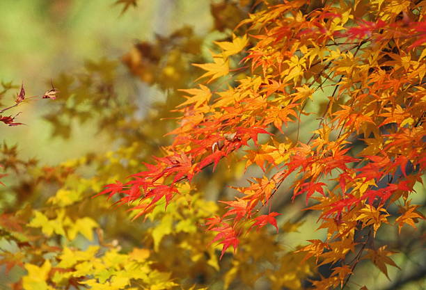 Japanese maple tree in autumn:スマホ壁紙(壁紙.com)