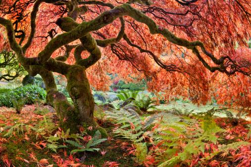 Japanese Maple「Japanese maple (Acer palmatum) tree in autumn」:スマホ壁紙(17)