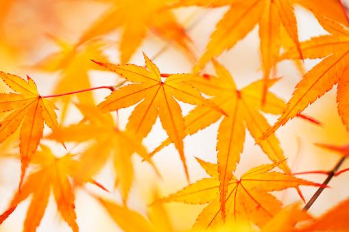 Japanese Maple「Japanese maple tree in autumn」:スマホ壁紙(12)