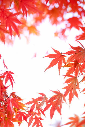 Japanese Maple「Japanese maple tree in autumn」:スマホ壁紙(19)