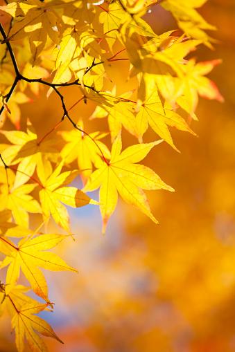 Japanese Maple「Japanese maple tree in autumn」:スマホ壁紙(16)