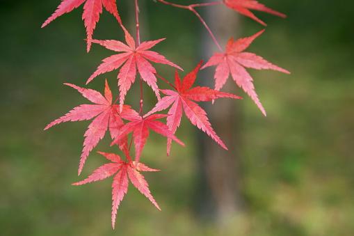 Japanese Maple「Japanese maple tree in autumn」:スマホ壁紙(14)