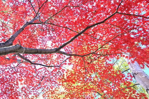 Japanese Maple「Japanese maple tree in autumn, Hokkaido Prefecture, Japan」:スマホ壁紙(19)