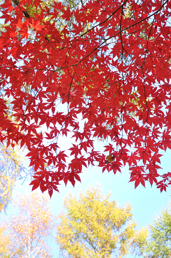 Japanese Maple「Japanese maple tree in autumn, Hokkaido Prefecture, Japan」:スマホ壁紙(12)