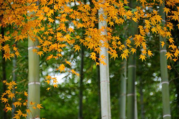 Japanese maple tree in autumn, Kyoto Prefecture, Honshu, Japan:スマホ壁紙(壁紙.com)