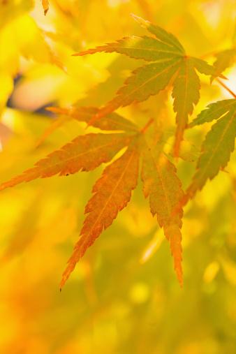 Japanese Maple「Japanese maple (Acer palmatum)」:スマホ壁紙(6)