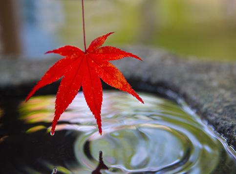 紅葉「Japanese maple leaf.」:スマホ壁紙(7)