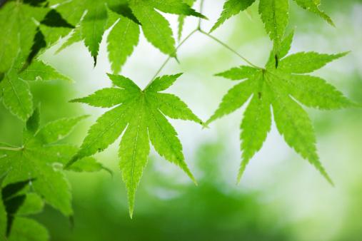 Nikko City「Japanese maple leaf」:スマホ壁紙(7)