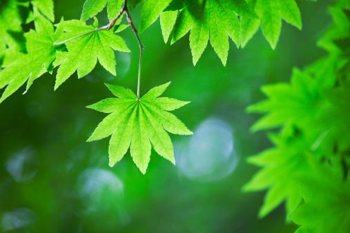 Nikko City「Japanese maple leaf」:スマホ壁紙(8)