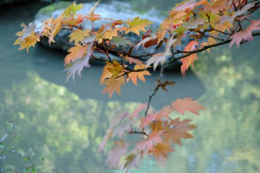 Japanese Maple「Japanese maple leaves over water, autumn」:スマホ壁紙(1)
