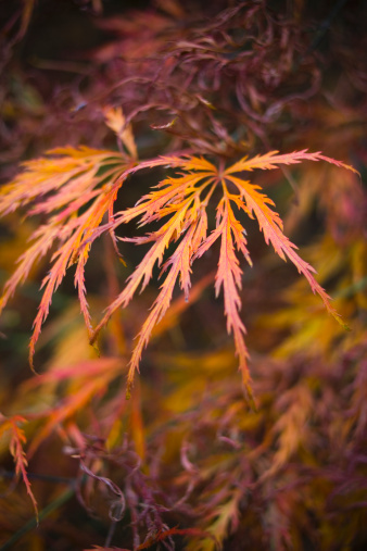 Japanese Maple「Japanese Maple」:スマホ壁紙(12)