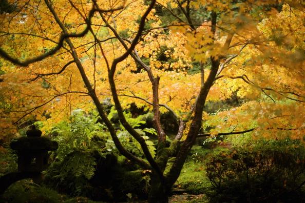 Japanese Maple「Autumn Colours Delayed by Mild Weather」:写真・画像(14)[壁紙.com]