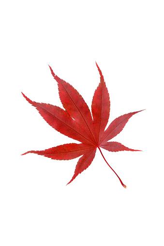 紅葉「Japanese Maple autumn leaf.」:スマホ壁紙(19)