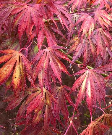 "Japanese Maple「Japanese Maple ""Crimson Carole"", in autumn, Seattle」:スマホ壁紙(0)"