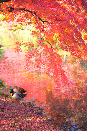 Japanese Maple「Japanese maple mallard ducks in autumn, Kyoto Prefecture, Honshu, Japan」:スマホ壁紙(19)