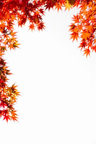 紅葉「Japanese maple leaves (Acer sp.) against white background」:スマホ壁紙(8)