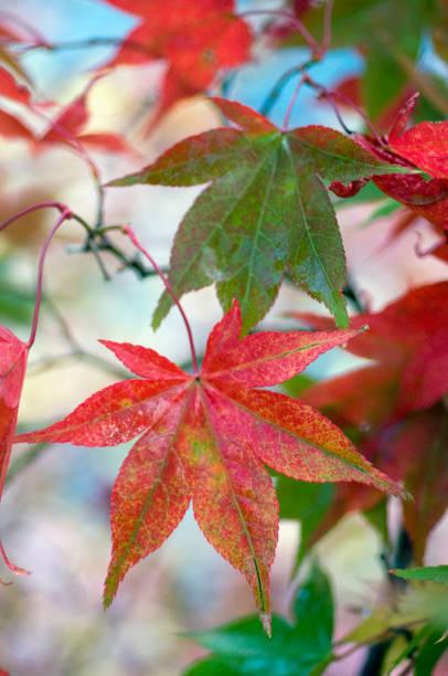 Japanese maple (Acer palmatum), November:スマホ壁紙(壁紙.com)