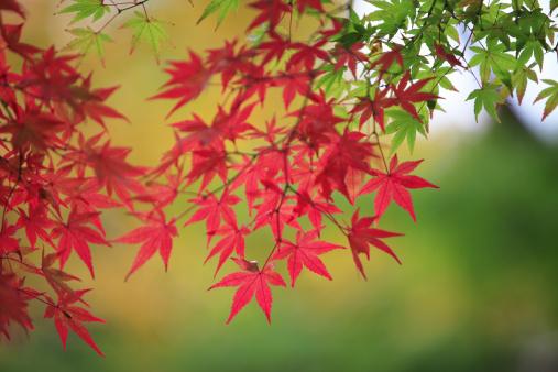 Japanese Maple「Japanese maple in autumn, Nara Prefecture, Honshu, Japan」:スマホ壁紙(11)