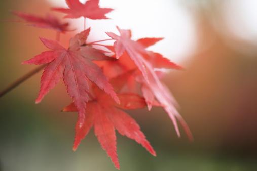 Japanese Maple「Japanese maple in autumn, Nara Prefecture, Honshu, Japan」:スマホ壁紙(9)