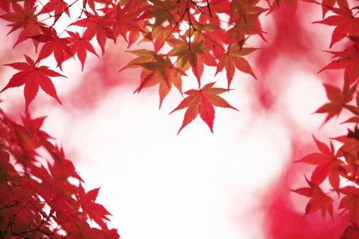 Japanese Maple「Japanese maple in autumn, Nara Prefecture, Honshu, Japan」:スマホ壁紙(10)