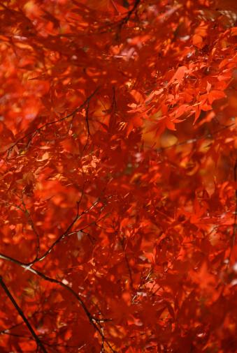 Japanese Maple「Japanese maple (Acer sp.) full frame, autumn」:スマホ壁紙(12)