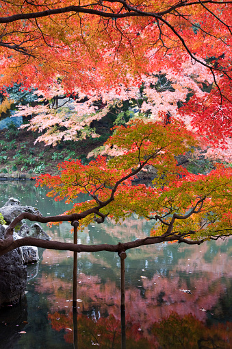 Japanese Maple「Japanese maple limbs supported above pond」:スマホ壁紙(4)