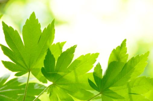 Japanese Maple「Japanese maple tree in spring, Kanagawa Prefecture, Honshu, Japan」:スマホ壁紙(1)